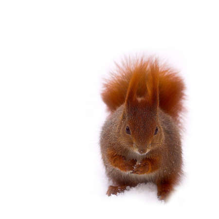 in park red squirrel on withe snow - winter Stock Photo