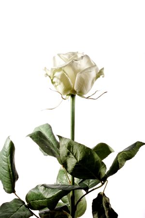 white rose on white background Banco de Imagens