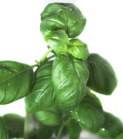 green basil on white background