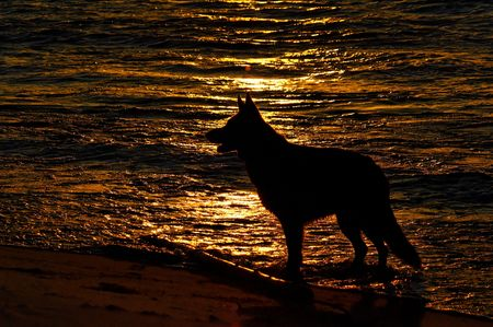 dog german shepherd play on the beach