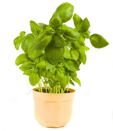 Green herb basil on white background  Banco de Imagens