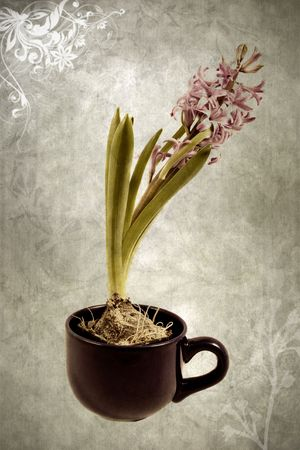 old art photo of spirng flower hyacinth