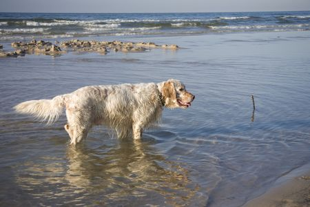 english setter on sand beach coast in Poland