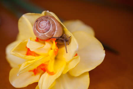 a small adorable snail wandering around yellow daffodils Фото со стока