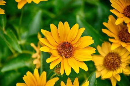 Beautiful dark yellow flowers growing on a green meadow stock photo beautiful dark yellow flowers growing on a green meadow stock photo 96871405 mightylinksfo