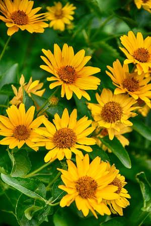 Beautiful dark yellow flowers growing on a green meadow stock photo beautiful dark yellow flowers growing on a green meadow stock photo 96871407 mightylinksfo