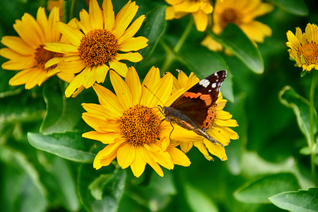 Beautiful dark yellow flowers growing on a green meadow and a beautiful dark yellow flowers growing on a green meadow and a butterfly on them stock photo mightylinksfo