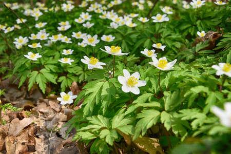 mooie kleine lente witte anemonen groeien onder groene bladeren in het bos