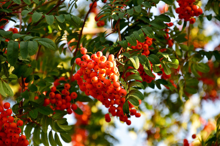 beautiful red rowan fruit on the tree among green leaves 写真素材