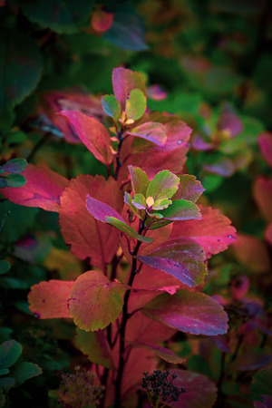 beautiful red leaves of a bush in the warm autumn sun Stock Photo