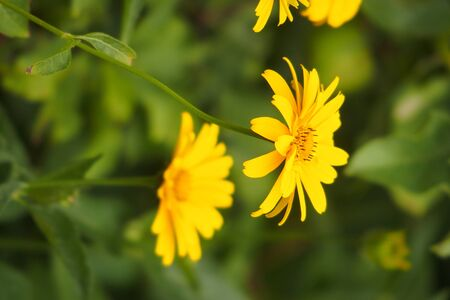 beautiful yellow flowers growing in the garden among green foliage background on a warm summer day in close-up Stock Photo
