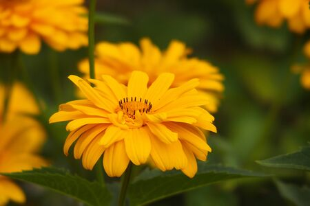 beautiful yellow flowers growing in the garden among green foliage background on a warm summer day in close-up