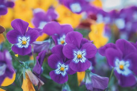 beautiful background with spring colored pansies in close-up