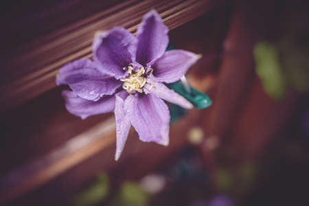 beautiful clematis flower in the garden in close-up