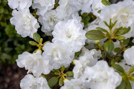 beautiful white azalea in the summer garden