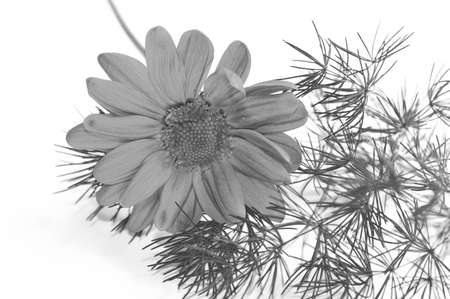 beautiful daisy in close-up on a white background