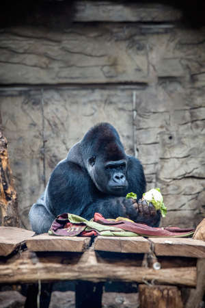 beautiful big gorilla during a meal at the zoo