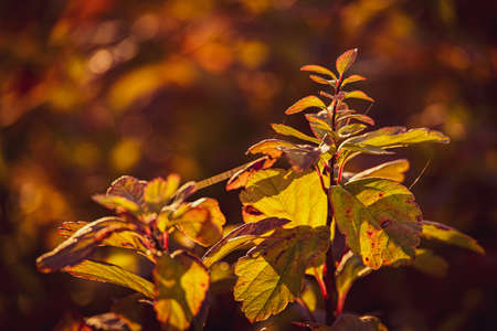 beautiful shrub with yellow leaves in closeup on a warm autumn day in the garden