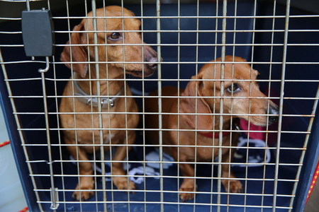 Sad dachshund dog behind bars in a cage.