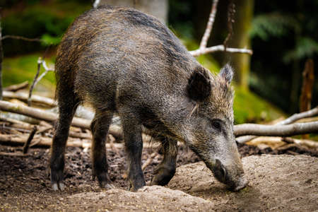 young wild pig looking for food in the forest, Bohmenwald