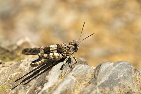 Grasshopper. Chorthippus biguttulus.