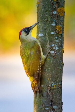 European green woodpecker holding vertical on a tree trunk