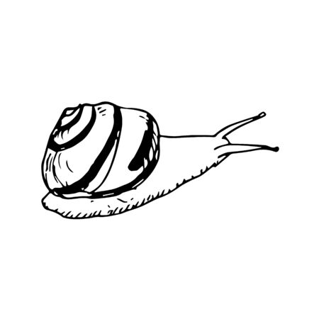 Vector illustration with monochrome snail. Hand drawn illustration in sketch style. Black snail on white background