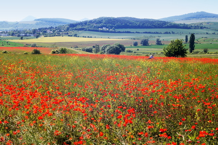 uplands: Poppies