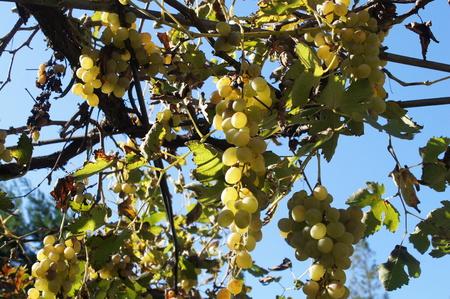 vine leaves: Vine leaves
