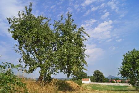 walnut tree: walnut tree in countryside
