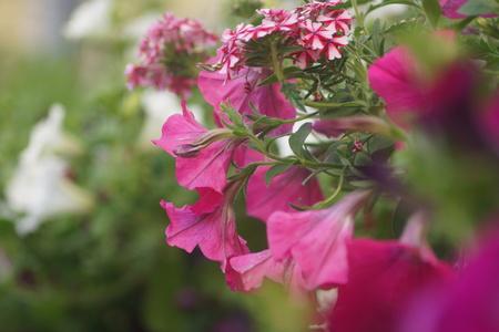 geranium color: pendulous flowers in pots