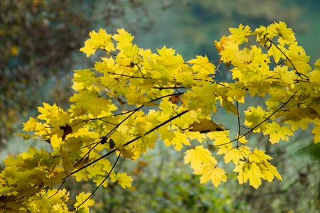 subsidy: maple branch