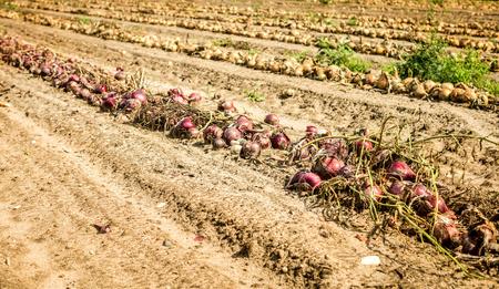 onions: harvest onions