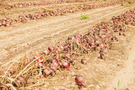 cebollas: harvest onions