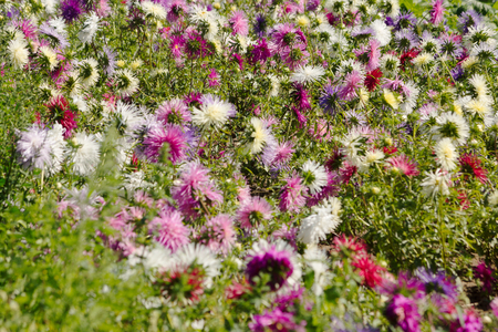 flowerbed aster