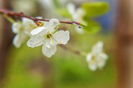 asian gardening: White cherry flower