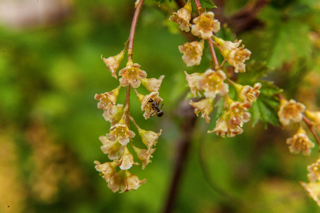 horticultural: Ant on a red currant. flower Stock Photo
