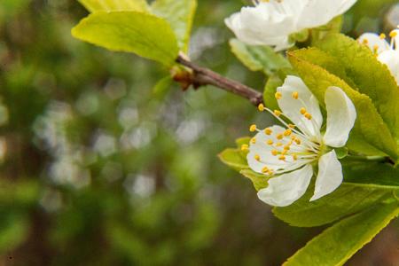 White cherry flower