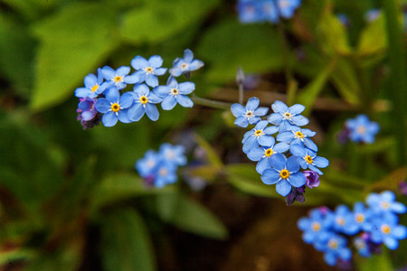 Forget-me-not in flower close up Stock Photo