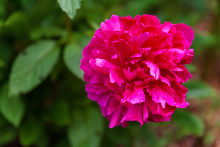 Red peony flower in the garden