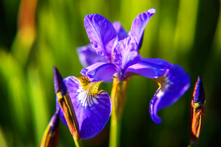 Flower bed with purple irises and blurred bokeh background. Inspirational natural floral spring or summer blooming garden or park. Colorful blooming ecology nature landscape Stock Photo