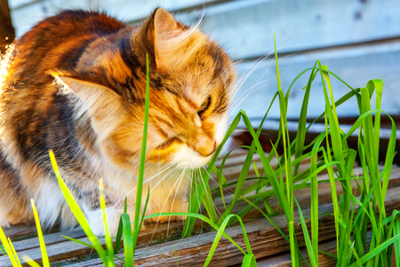 Arrogant short-haired domestic beautiful tabby cat eating fresh green grass oats. Natural hairball treatment. Pet care health and animals concept