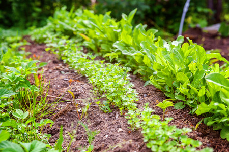 Agricultural field with green leaf lettuce salad and parsley on garden bed in vegetable field. Gardening background with green lettuce plants. Organic health food vegan vegetarian diet concept
