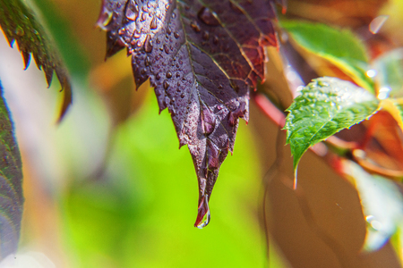 Drops of rain water on green grape leaves in vineyard. Inspirational natural floral spring or summer farming garden background. Viticulture wine industry