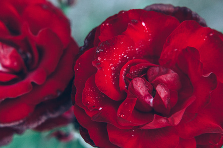 Beautiful red rose flowers with drops after rain in summer time. Background with flowering scarlet roses. Inspirational natural floral spring blooming garden or park. Ecology nature concept
