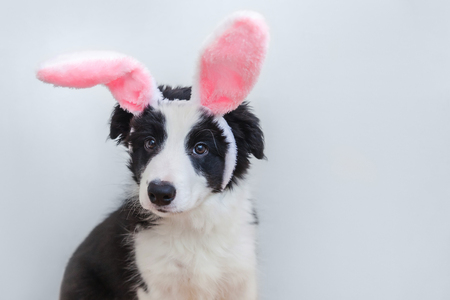 Happy Easter concept. Funny portrait of cute smilling puppy dog border collie wearing easter bunny ears isolated on white background. Preparation for holiday. Spring greeting card Banco de Imagens