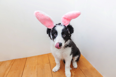Happy Easter concept. Funny portrait of cute smilling puppy dog border collie wearing easter bunny ears indoor at home. Preparation for holiday. Spring greeting card