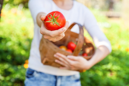 Concepto de jardinería y agricultura. Manos de trabajador agrícola joven sosteniendo la cesta recogiendo tomates orgánicos maduros frescos en el jardín. Productos de invernadero. Producción de alimentos vegetales