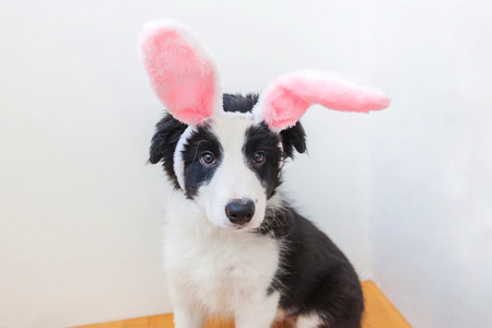 Happy Easter concept. Funny portrait of cute smilling puppy dog border collie wearing easter bunny ears isolated on white background. Preparation for holiday. Spring greeting card Stock Photo