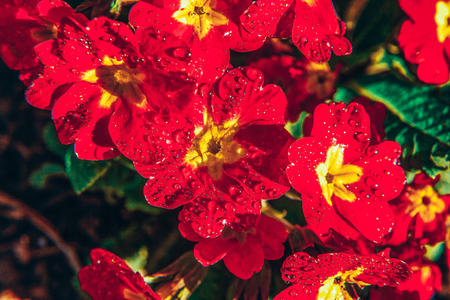 Primrose Primula with red flowers. Inspirational natural floral spring or summer blooming garden or park under soft sunlight and blurred bokeh background. Colorful blooming ecology nature landscape